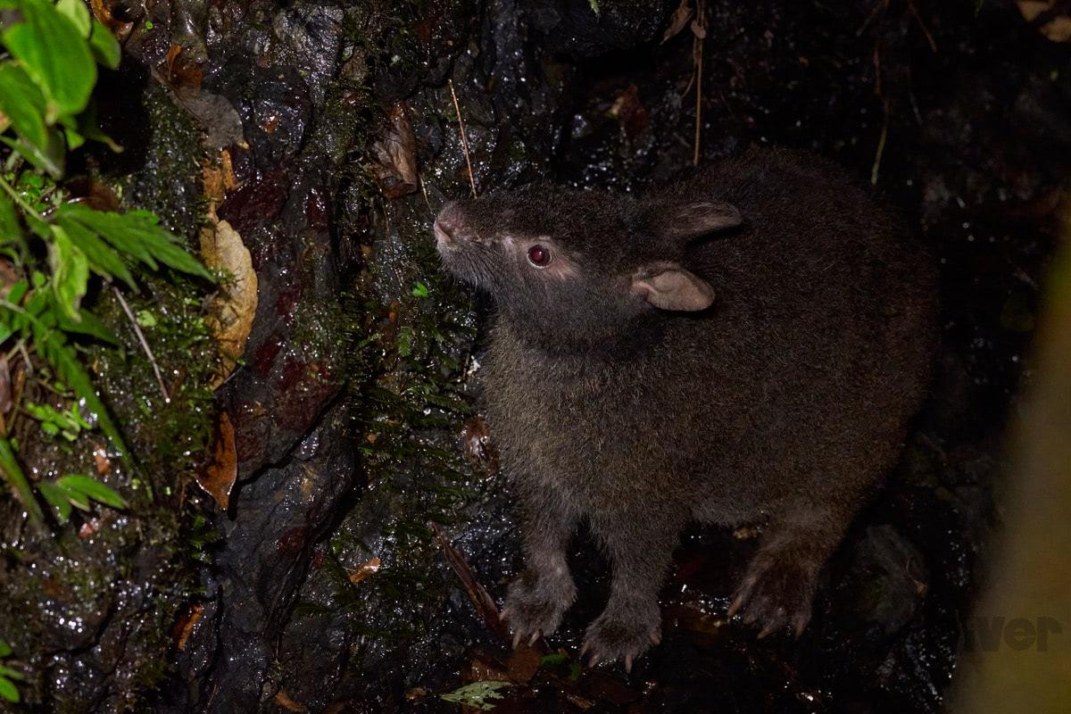 ニッポン探訪_アマミノクロウサギ